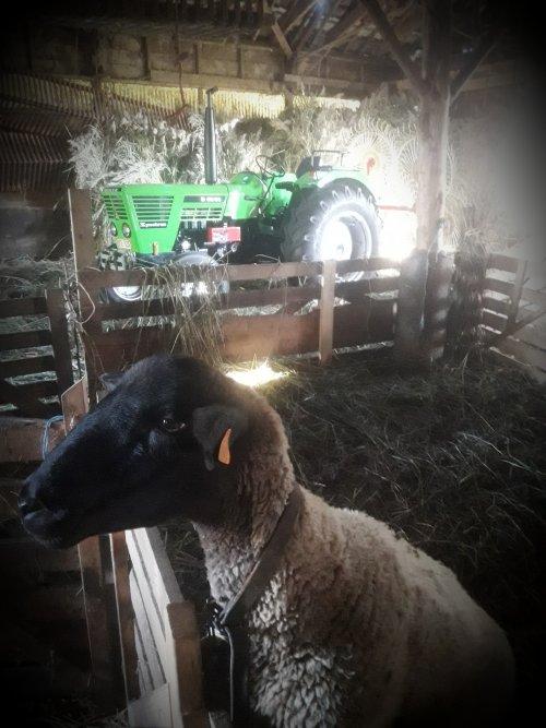 Foto van een Deutz D6806......en een schaap.. Geplaatst door stijn-de-bock op 15-09-2019 om 17:45:45, met 14 reacties.