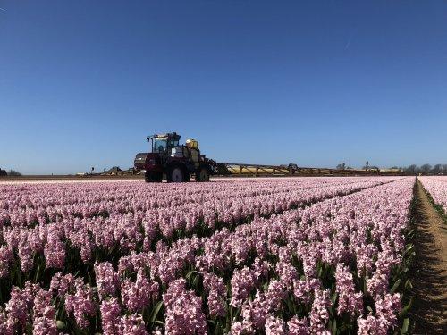 Prachtig weer om gewasbescherming toe te passen op de Hyacinten! Levert ook nog mooie plaatjes op. Geplaatst door Interboy1255 op 03-04-2019 om 14:49:01, op TractorFan.nl - de nummer 1 tractor foto website.