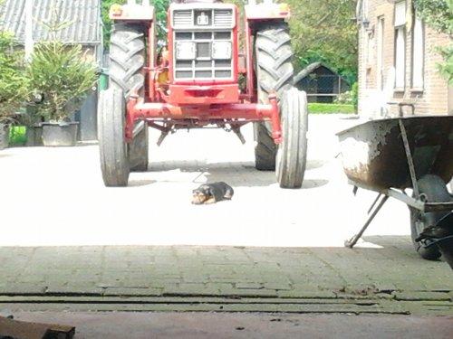 Een trouwe waakhond bij een International 453, bezig met poseren.. Geplaatst door IHC-GIRL op 12-05-2012 om 22:30:44, met 3 reacties.
