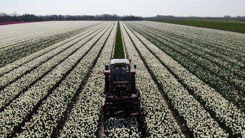 Hier zie je Klus en montage Bedrijf Burger (t Zand) × met een Massey Ferguson 265. Tulpenkoppen in Noord holland