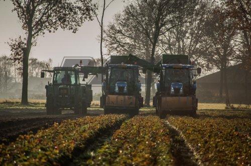 Loonbedrijf Maas B.V Kessel uit Kessel(L) met 2 New Holland T 6040 aardbeienplanten aan het rooien in Neeritter(L) Meer foto's http://pacofotografie.jimdo.com/2014/12/11/loonbedrijf-maas-b-v-kessel-aardbeienplanten-rooien-2014/