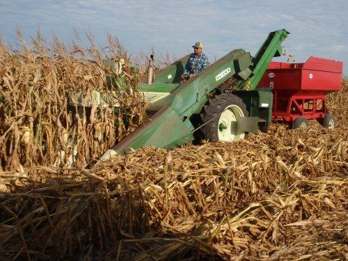 Foto van een Oliver onbekend bezig met mais kolven plukken. Geplaatst door David Bakker op 09-09-2019 om 21:20:44, met 4 reacties.