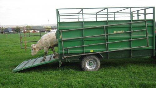 Foto van een Record veewagen, bezig met beesten lossen.. Geplaatst door RobinBE op 01-05-2013 om 16:48:47, op TractorFan.nl - de nummer 1 tractor foto website.